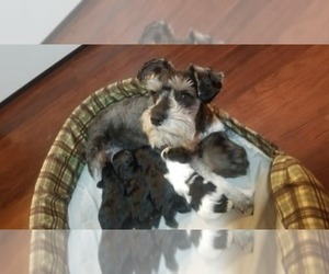 Mother of the Schnauzer (Miniature) puppies born on 06/08/2019