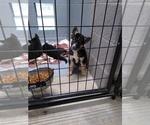 Small #7 German Shepherd Dog-Siberian Husky Mix