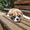 Bulldog Puppy For Sale in LOS ANGELES, CA,