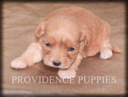 View Ad Havanese Poodle Toy Mix Puppy For Sale Near Iowa Wayland