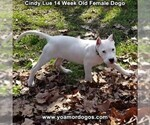 Small Photo #210 Dogo Argentino Puppy For Sale in PINEVILLE, MO, USA