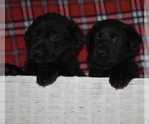 Shepradors Puppy for sale in MARYSVILLE, OH, USA