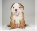 Small Photo #3 Bulldog Puppy For Sale in NAPPANEE, IN, USA