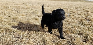 Labradoodle Puppy for Sale in CO SPGS, Colorado USA