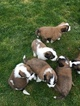 Saint Bernard Puppy For Sale in DAYTON, OH