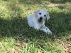 Labrador Retriever Puppy For Sale in LAUREL HILL, FL, USA