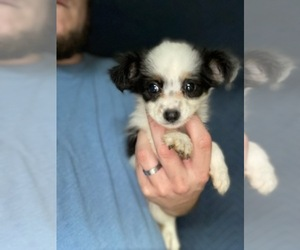 Australian Shepherd-Poodle (Toy) Mix Puppy for Sale in SPENCER, Tennessee USA