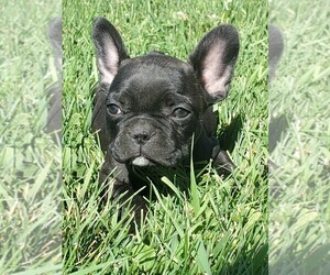 French Bulldog Puppy for Sale in AFTON, Wyoming USA