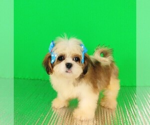 Shih Tzu Puppy for Sale in SOUTHBURY, Connecticut USA