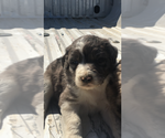 Aussiedoodle Puppy For Sale in FALKVILLE, AL, USA