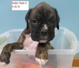 View Ad Boxer Puppy For Sale Indiana Westville Usa