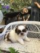 Shih Tzu Puppy For Sale in LOS ANGELES, California,