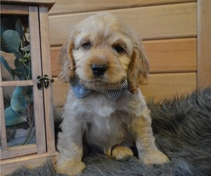 Cocker Spaniel Puppy for sale in HONEY BROOK, PA, USA