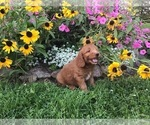 Small #7 Goldendoodle-Poodle (Miniature) Mix
