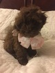 Shih-Poo Puppy For Sale in FREDERICK, MD, USA