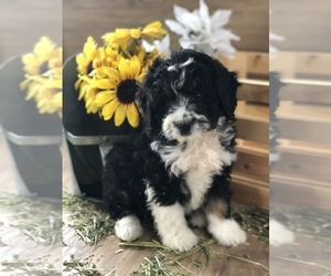 Miniature Bernedoodle Dog for Adoption in LEO, Indiana USA