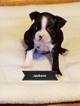 Boston Terrier Puppy For Sale in PINE RIVER, MN, USA