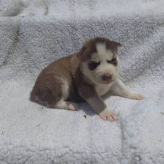 Siberian Husky Puppy for sale in WORTHINGTON, PA, USA