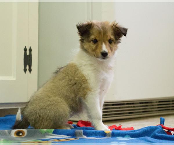 Medium Photo #7 Shetland Sheepdog Puppy For Sale in MILWAUKEE, WI, USA