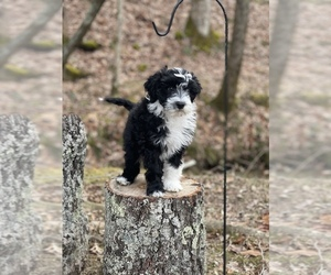 Portuguese Water Dog Puppy for sale in FLORENCE, AL, USA