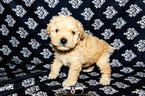 Poodle (Miniature) Puppy For Sale in SHALLOTTE, NC, USA