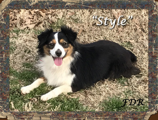 Miniature Australian Shepherd Dog For Adoption in FORESTBURG, TX, USA