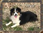 Miniature Australian Shepherd Dog For Adoption in FORESTBURG, TX, USA