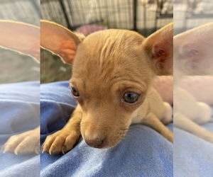 Chihuahua Puppy for sale in CORTEZ, CO, USA