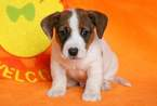Jack Russell Terrier Puppy For Sale in MOUNT JOY, Pennsylvania,