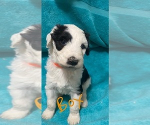 Sheepadoodle Puppy for Sale in MOLALLA, Oregon USA