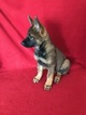 German Shepherd Dog Puppy For Sale in ELIZABETH, CO
