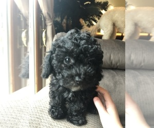 Lhasa Apso-Poodle (Standard) Mix Puppy for Sale in E BRUNSWICK, New Jersey USA