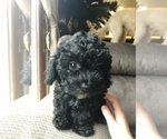 Puppy 1 Lhasa Apso-Poodle (Standard) Mix