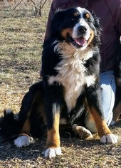 Father of the Bernese Mountain Dog puppies born on 01/11/2019