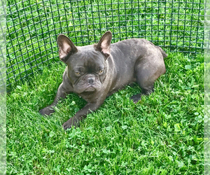 French Bulldog Puppy for sale in CO SPGS, CO, USA