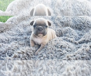 French Bulldog Puppy for Sale in FARMINGTON, Missouri USA