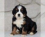 AKC Bernese Mountain Dog For Sale Loudonville OH