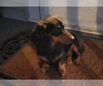 Small Photo #1 Dachshund Puppy For Sale in CEDAR RAPIDS, IA, USA