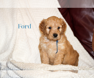 Goldendoodle Puppy for sale in MIDDLESEX, NC, USA