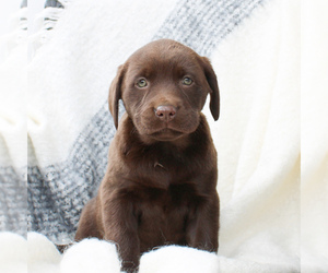 Labrador Retriever Puppy for sale in EAST EARL, PA, USA