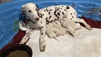 Dalmatian Puppy For Sale in LINCOLN, Nebraska,