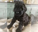 Puppy 7 Schnauzer (Giant)