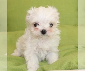 Maltese Dog for Adoption in JUNIPER HILLS, California USA