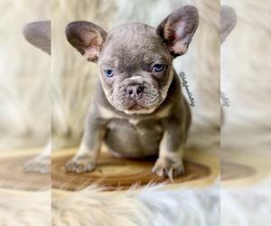 French Bulldog Puppy for Sale in OJAI, California USA