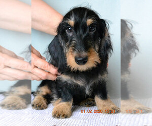 Dachshund Puppy for sale in Moscow, Moscow, Russia
