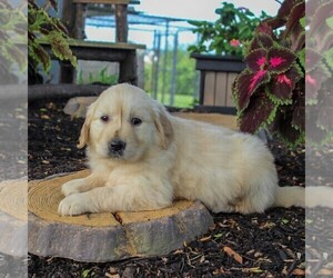 English Cream Golden Retriever Puppy for sale in BEARTOWN, PA, USA