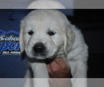 Puppy 2 English Cream Golden Retriever