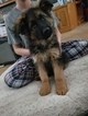 German Shepherd Dog Puppy For Sale in APPLE VALLEY, CA