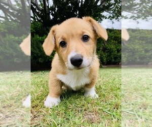 Pembroke Welsh Corgi Dog for Adoption in SANTA MONICA, California USA
