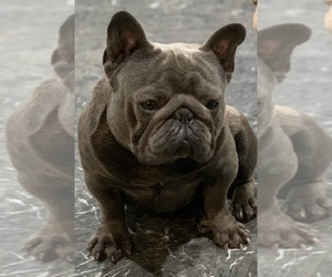 Father of the French Bulldog puppies born on 09/27/2020
